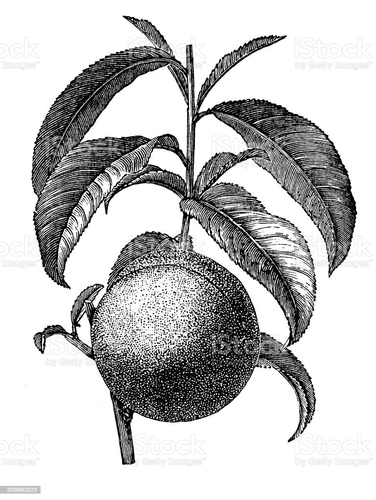 Antique illustration of peach vector art illustration