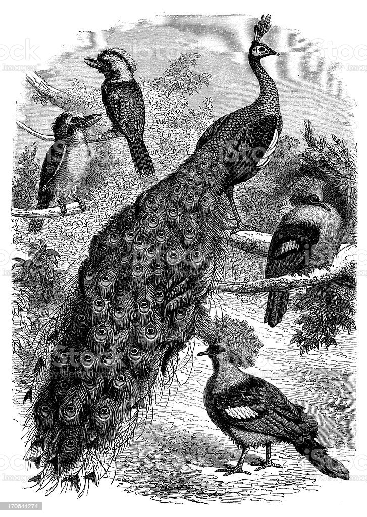 Antique illustration of peacock and other birds royalty-free stock vector art