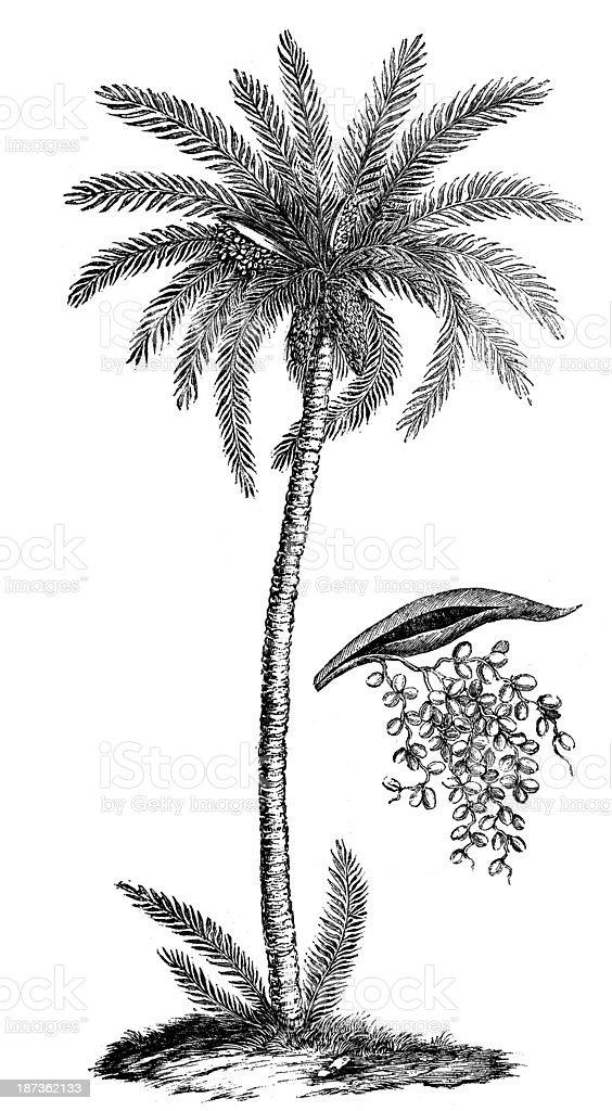Antique illustration of Phoenix dactylifera (date palm) royalty-free stock vector art