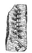 Antique illustration of plants: Fossil fern