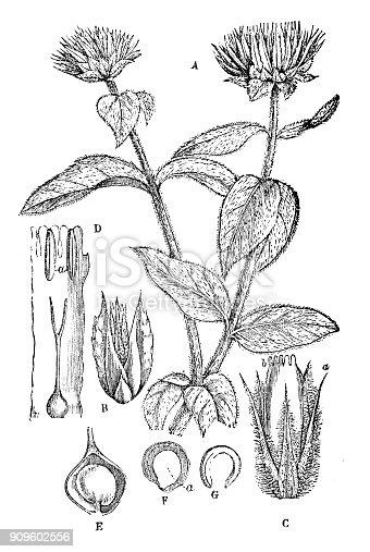 Antique illustration of plants: Gomphrena globosa (globe amaranth, makhmali, vadamalli)