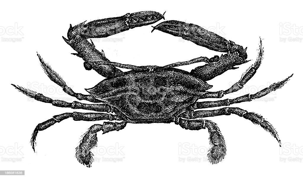 Antique illustration of podoftalmos royalty-free stock vector art