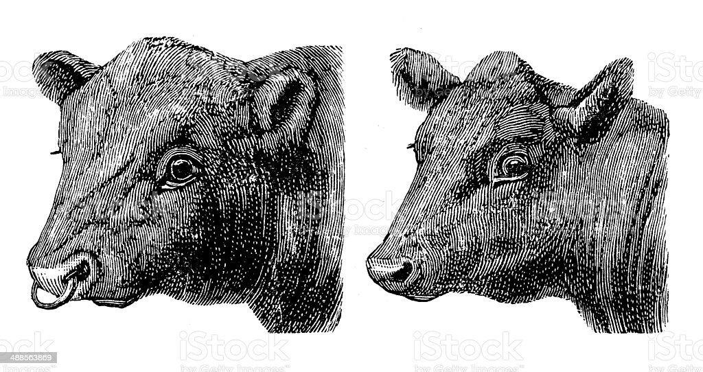 Antique illustration of Polled Aberdeen angus bull and cow vector art illustration