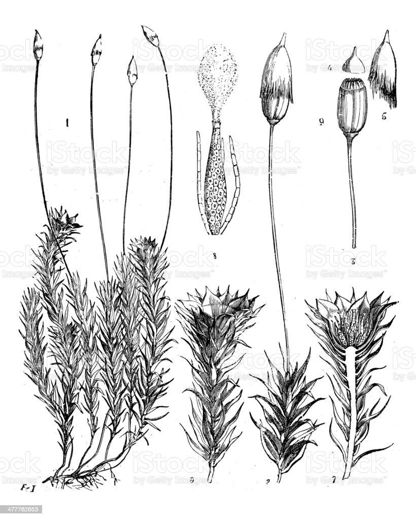 Antique illustration of Polytrichum commune (Common haircap moss) vector art illustration