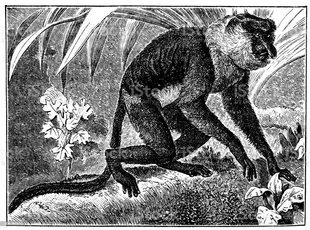Antique illustration of proboscis monkey (Nasalis larvatus) vector art illustration