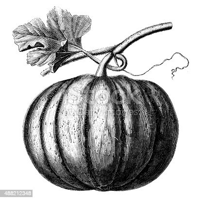 Antique illustration of pumpkin