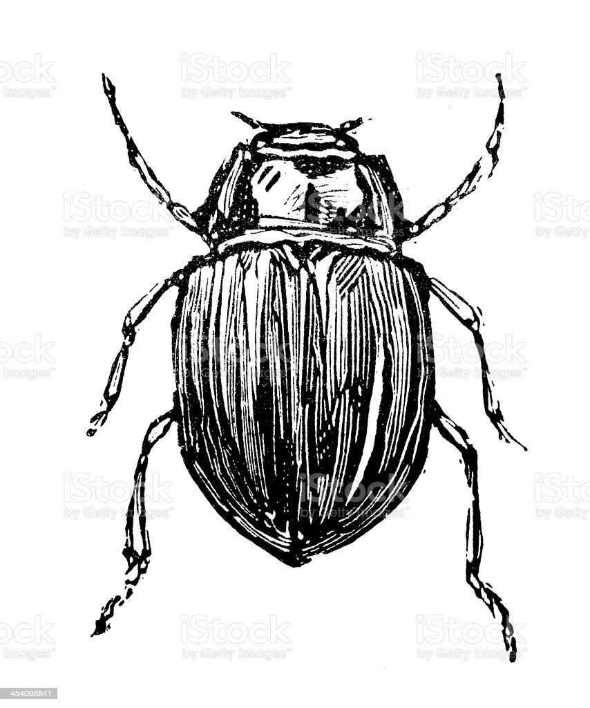 Antique illustration of rainbow leaf or Snowdon beetle (Chrysolina cerealis) vector art illustration