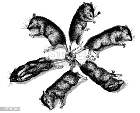 Antique illustration of rats tied by tail
