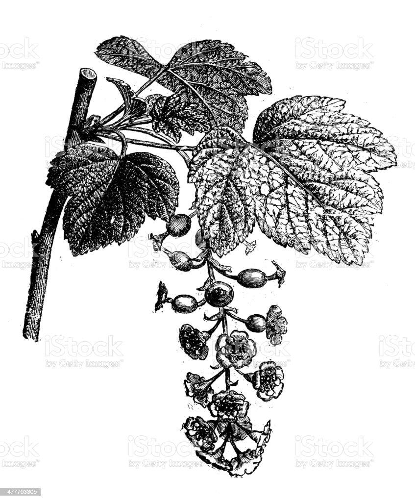 Antique illustration of red currant (Ribes rubrum) vector art illustration