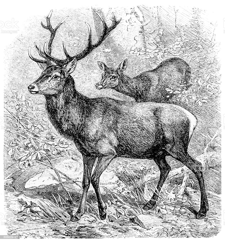 Ancienne illustration de red deer (Cervus elaphus) - Illustration vectorielle