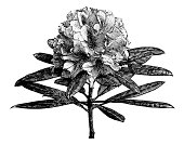 Antique illustration of Rhododendron arboreum (Tree Rhododendron)
