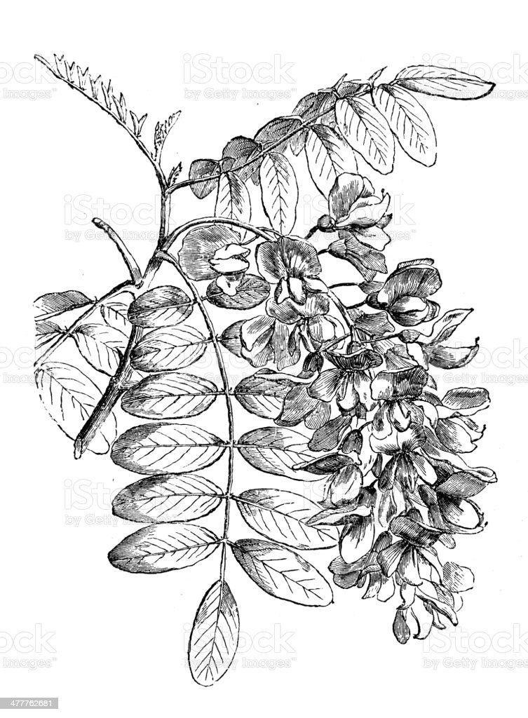Antique illustration of Robinia pseudoacacia (black locust) royalty-free stock vector art
