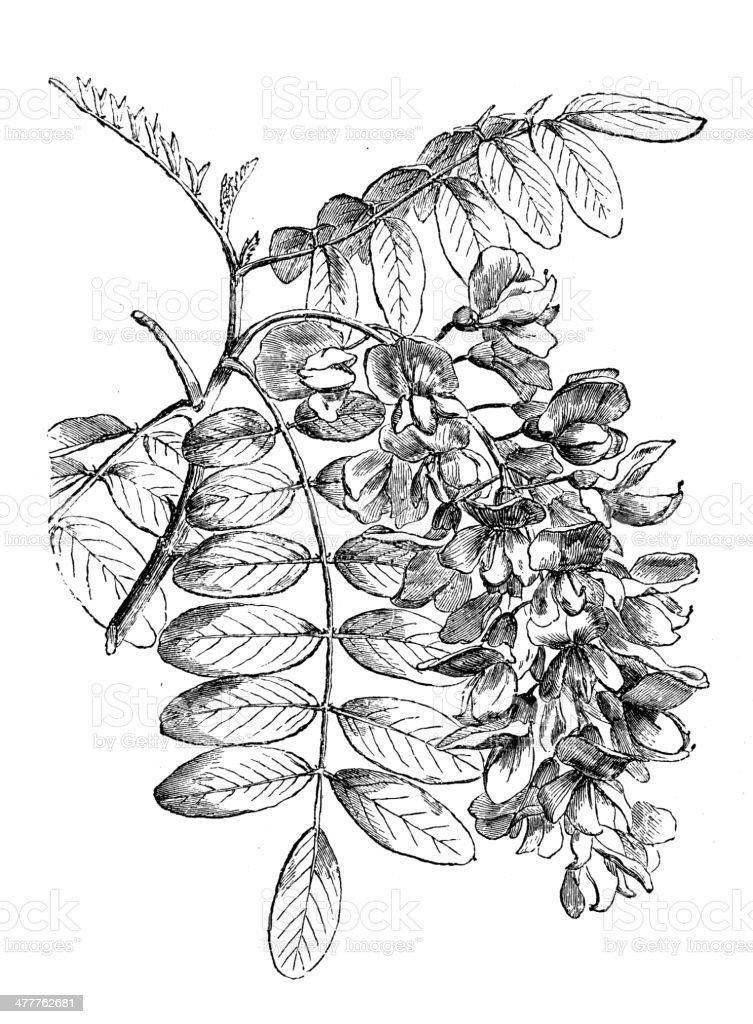 Antique illustration of Robinia pseudoacacia (black locust) vector art illustration