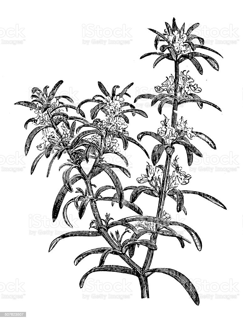 Antique illustration of Rosmarinus officinalis (rosemary) vector art illustration