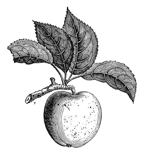 Anticuario ilustración de manzana Russet - ilustración de arte vectorial