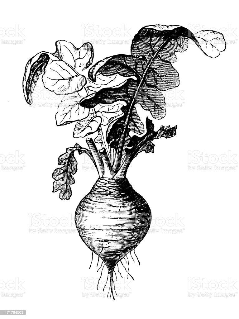 Antique illustration of rutabaga (Brassica napobrassica) vector art illustration