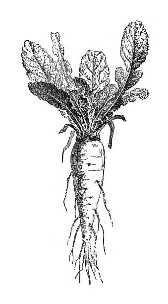 Best Root Vegetable Illustrations, Royalty-Free Vector
