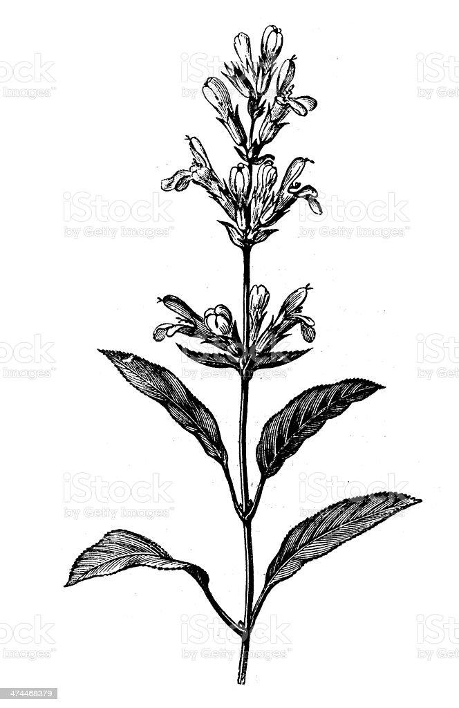 Antique illustration of Salvia officinalis (sage) vector art illustration