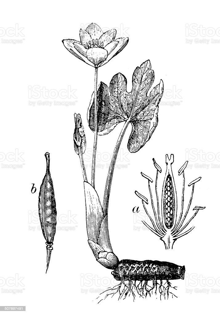 [Image: antique-illustration-of-sanguinaria-cana...d507897491]