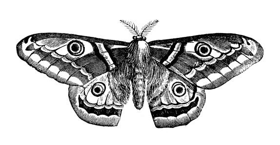 Antique illustration of Saturnia pyri (Giant Peacock Moth)