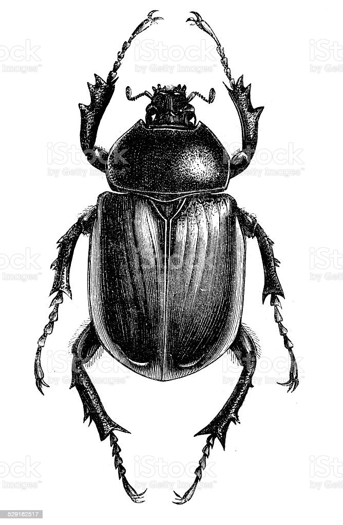Antique illustration of scarab beetle vector art illustration