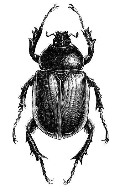 Antique illustration of scarab beetle Antique illustration of scarab beetle beetle stock illustrations