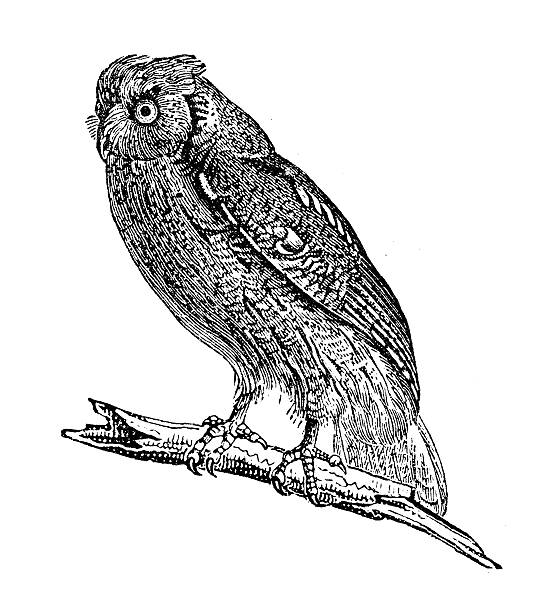 antique illustration of scops owl - black and white owl stock illustrations, clip art, cartoons, & icons