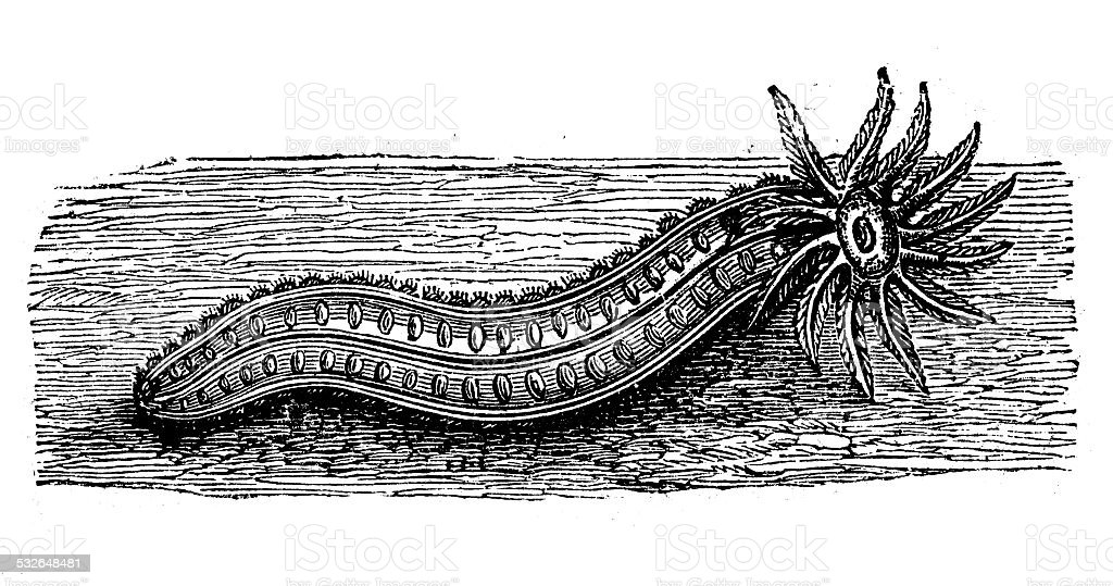 Antique Illustration Of Sea Cucumber Stock Vector Art & More Images ...