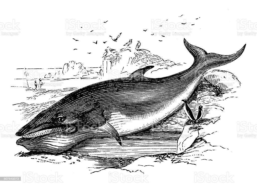 Antique illustration of sei whale (Balaenoptera borealis) vector art illustration