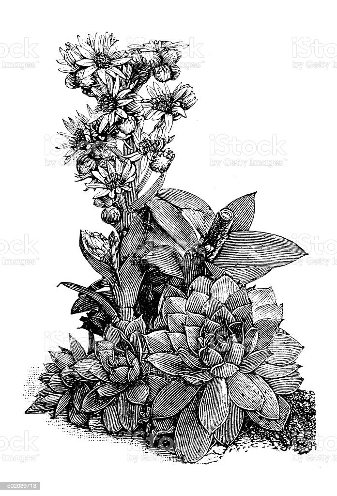 Antique illustration of Sempervivum tectorum (common houseleek) vector art illustration