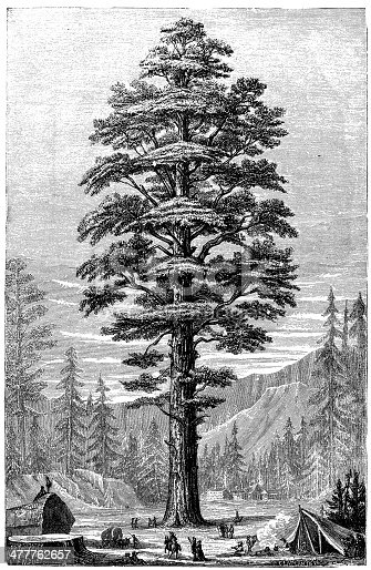 Antique illustration of Sequoiadendron giganteum (giant sequoia, giant redwood, Sierra redwood, Sierran redwood, or Wellingtonia)