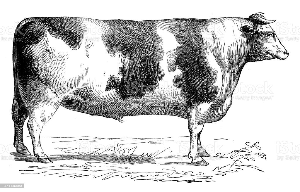 Antique illustration of shorthorn vector art illustration