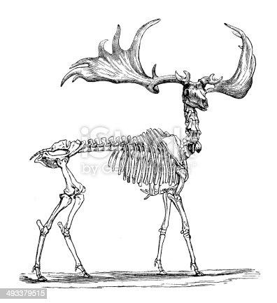Antique illustration of skeleton of Irish Elk