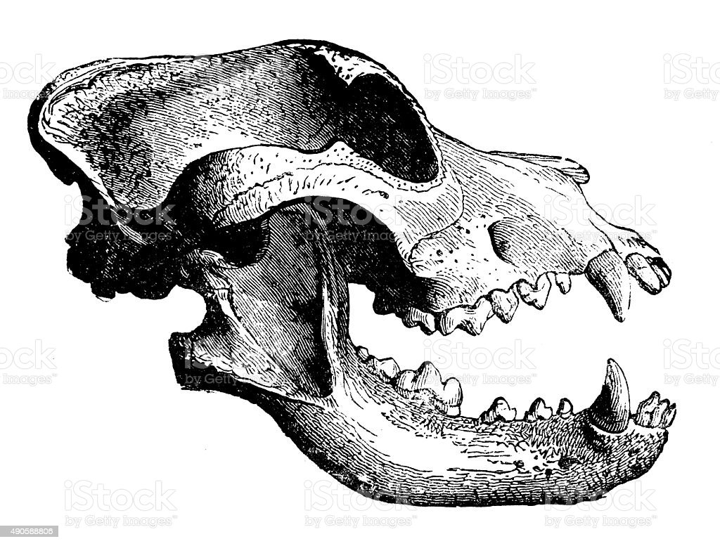 Antique illustration of skull of carnivorous mammal (dog) vector art illustration