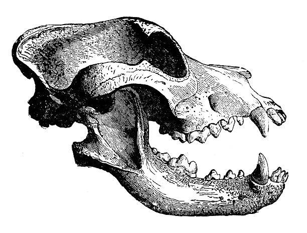Best Animal Skull Illustrations, Royalty-Free Vector ...
