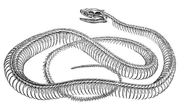 antique illustration of snake skeleton - animal skeleton stock illustrations