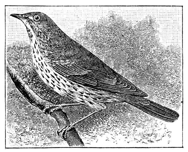 ilustrações de stock, clip art, desenhos animados e ícones de antiguidade ilustração de música candidíase (turdus philomelos - song thrush