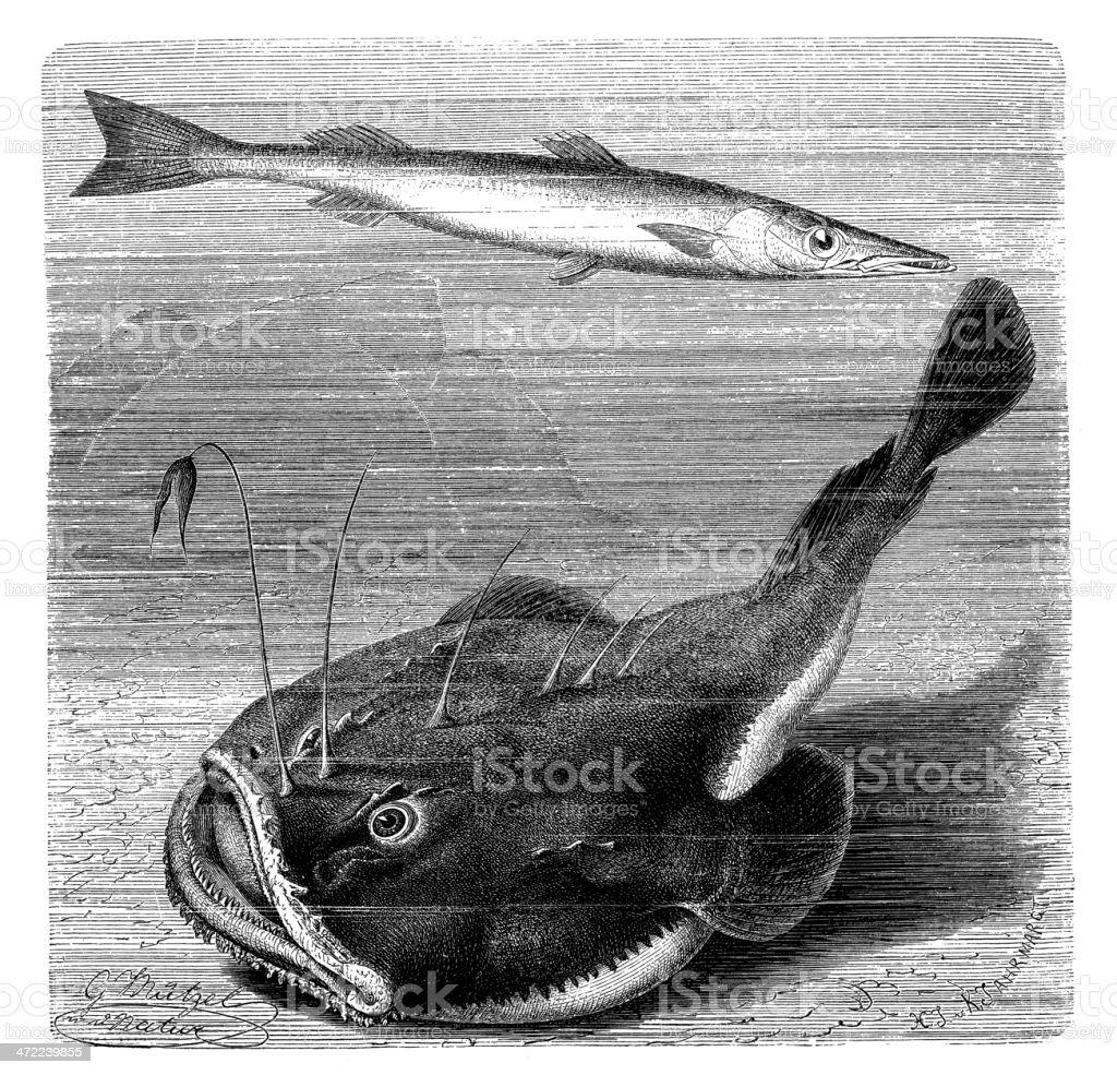 Antique illustration of Sphyraena sphyraena and angler (Lophius piscatorius) vector art illustration