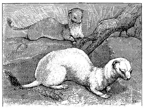 Antique illustration of stoat (Mustela erminea) Antique illustration of stoat (Mustela erminea) ermine stock illustrations