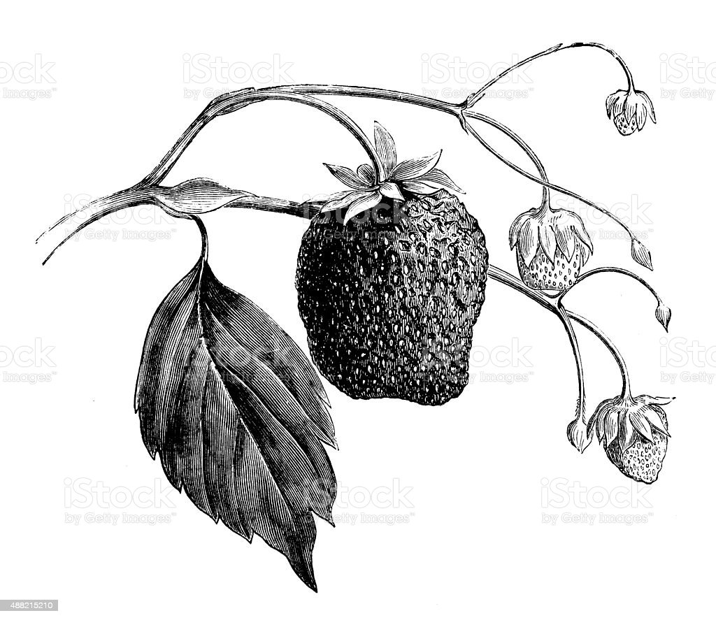 Antique illustration of strawberry vector art illustration