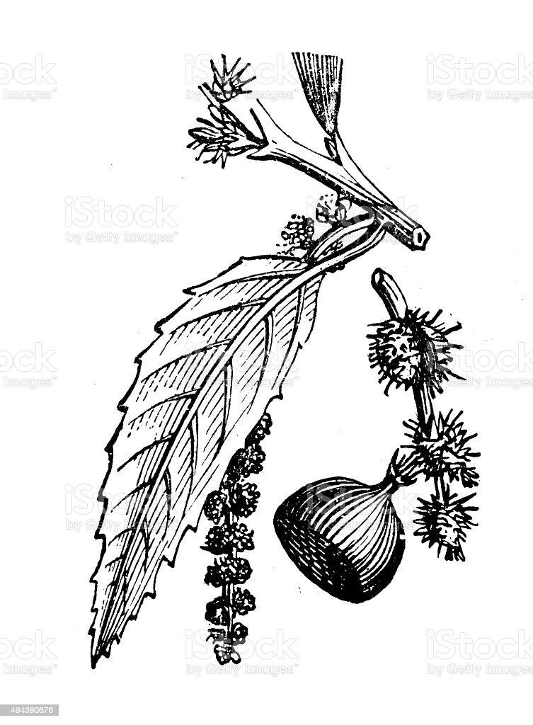 Antique illustration of sweet chestnut vector art illustration