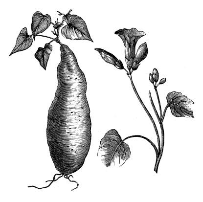 Antique illustration of sweet potato (Ipomoea batatas)