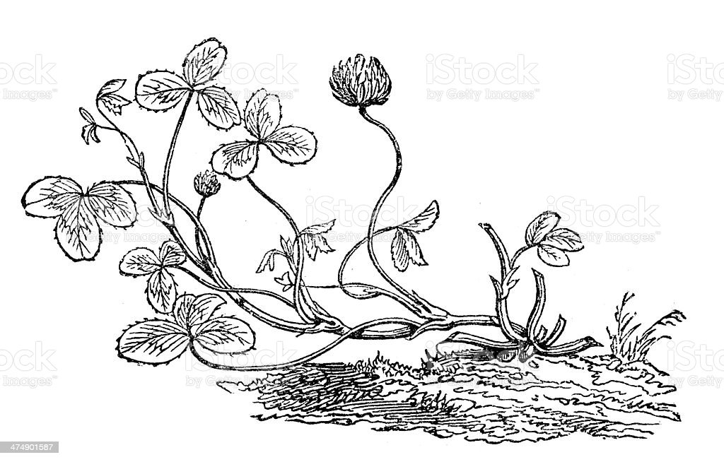 Antique illustration of Trifolium repens (white clover) royalty-free antique illustration of trifolium repens stock vector art & more images of 19th century style