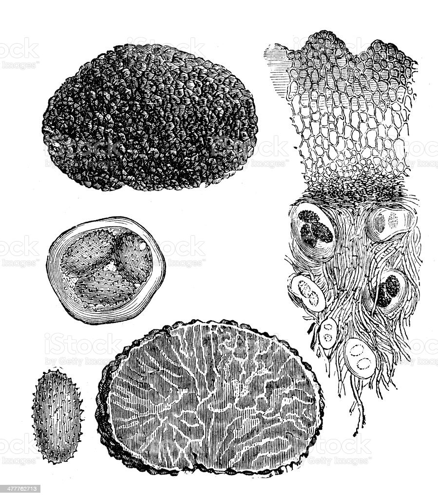 Antique illustration of truffle vector art illustration