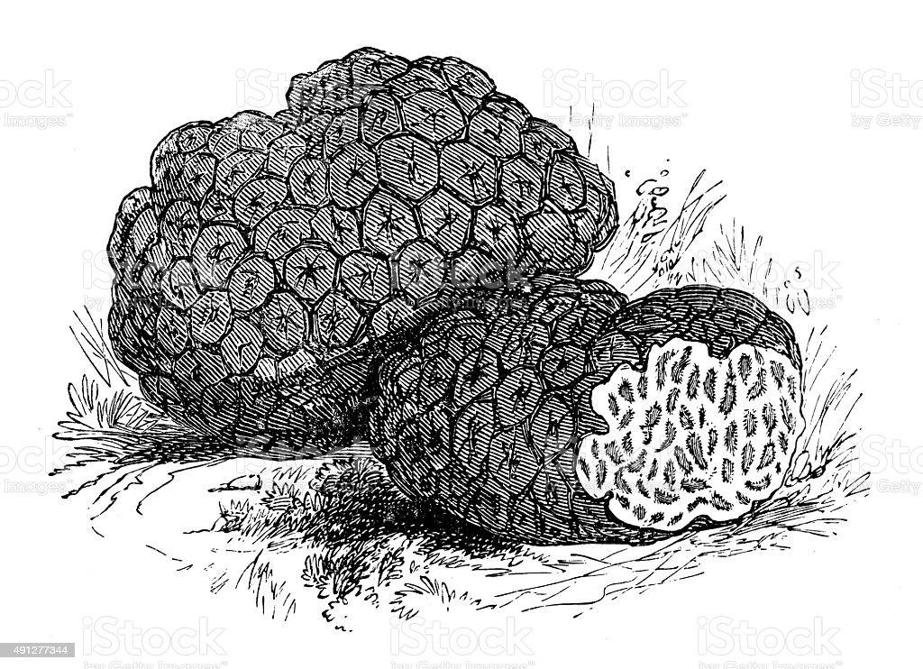 Antique illustration of truffles vector art illustration