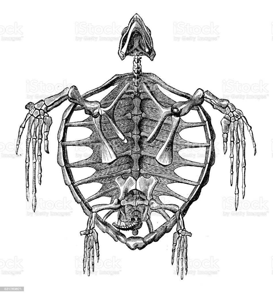 Ilustración de Anticuario Ilustración De Tortugas Esqueleto De Los ...
