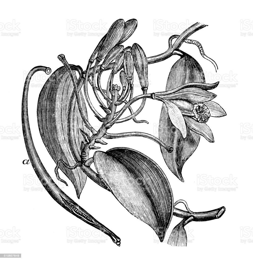 Antique illustration of Vanilla planifolia vector art illustration