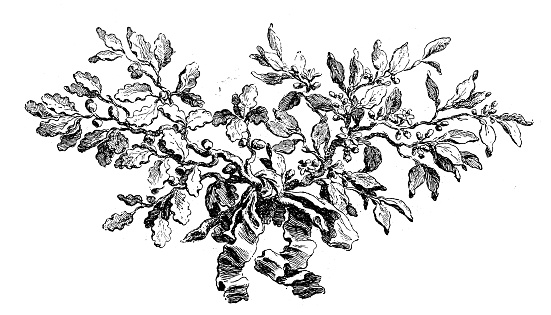 Antique illustration of vegetal  cul-de-lampe ornament