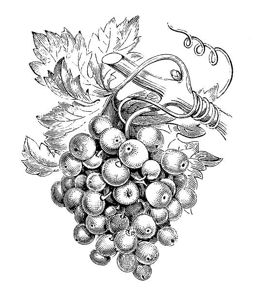Antique illustration of vine (Vitis vinifera) vector art illustration