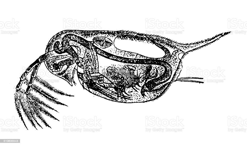 Antique Illustration Of Water Flea Stock Vector Art More Images Of